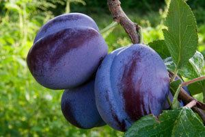 Damson Damson Varietires Recipes Nutritional Value and Growing Conditions