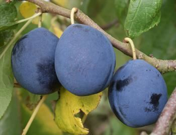 Damson Shropshire Prune damson trees for sale Buy online Friendly advice
