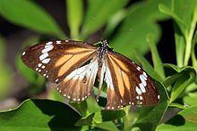 Danaus affinis httpsuploadwikimediaorgwikipediacommonsthu