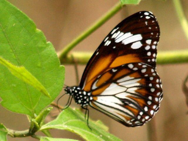 Danaus affinis BFP1101