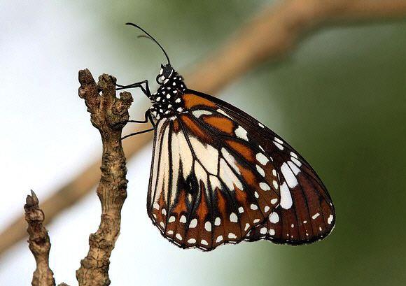 Danaus affinis Butterflies of Australia Danaus affinis