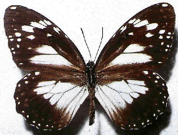 Danaus affinis Danaus affinis
