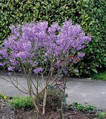Daphne genkwa Daphne genkwa Landscape Plants Oregon State University