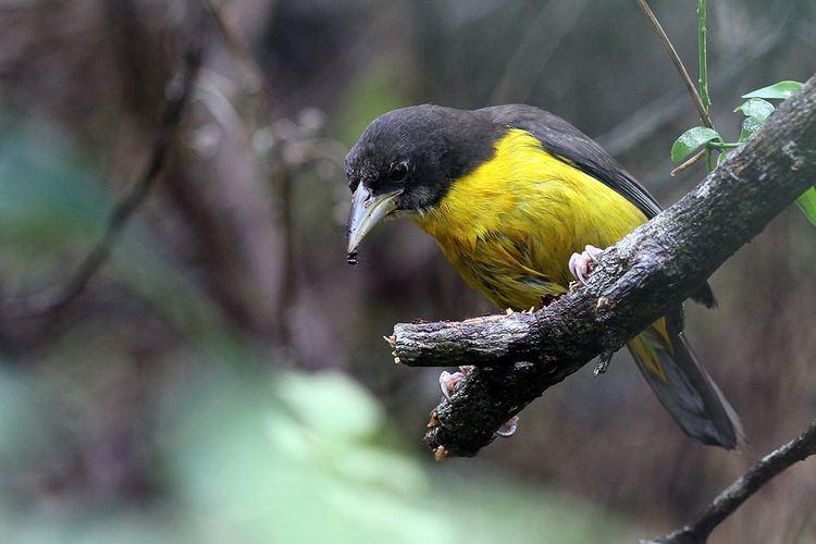 Dark-backed weaver Darkbacked or Forest Weaver Bird amp Wildlife Photography by