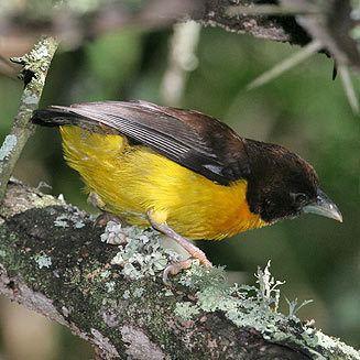 Dark-backed weaver wwwbiodiversityexplorerorgbirdsploceidaeimage