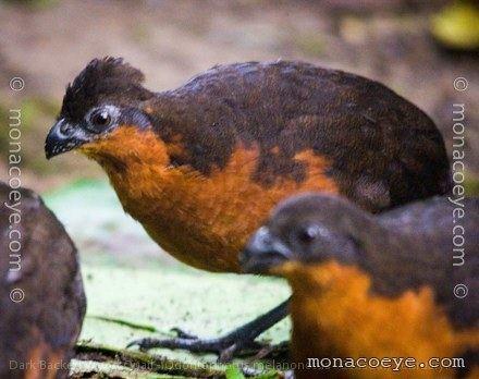 Dark-backed wood quail Dark Backed Wood Quail Odontophoridae New World Quail Ecuador