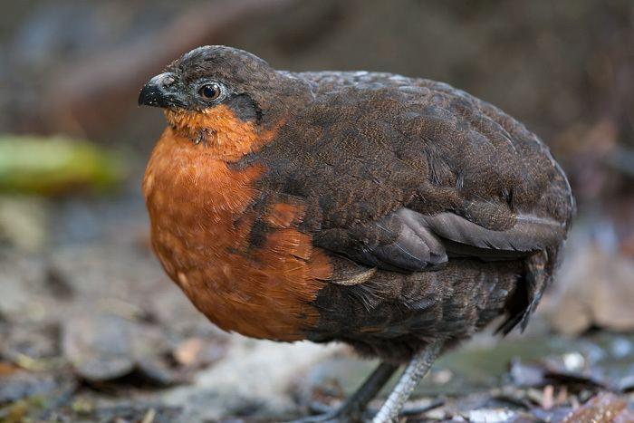 Dark-backed wood quail darkbacked woodquail corcovado dorsioscuro Esp Odontophorus