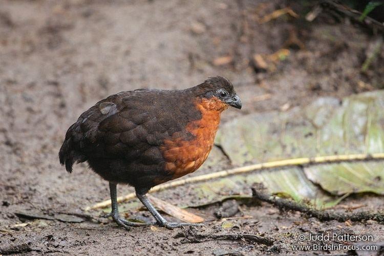 Dark-backed wood quail wwwbirdsinfocuscomgalleriesjuddpattersonDark