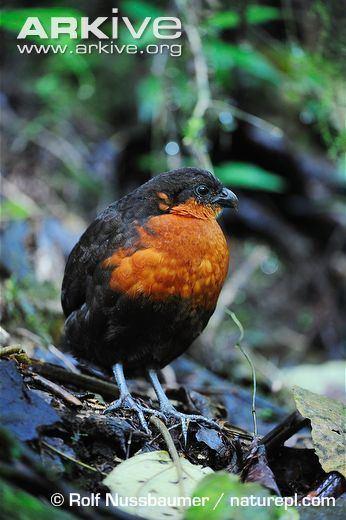 Dark-backed wood quail Darkbacked woodquail videos photos and facts Odontophorus