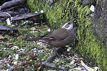 Dark-bellied cinclodes httpsuploadwikimediaorgwikipediacommonsthu