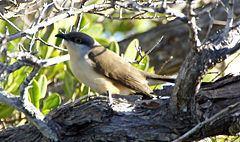 Dark-billed cuckoo httpsuploadwikimediaorgwikipediacommonsthu