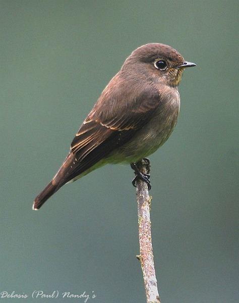 Dark-sided flycatcher Oriental Bird Club Image Database Darksided Flycatcher