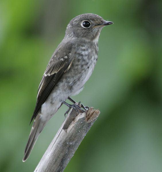 Dark-sided flycatcher orientalbirdimagesorgimagesdatasootyflycatche
