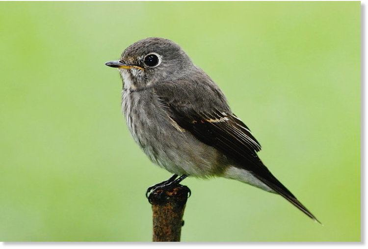 Dark-sided flycatcher Wrong time wrong place DarkSided Flycatcher from east Asia found