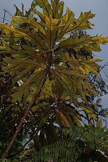 Darlingia ferruginea httpsuploadwikimediaorgwikipediacommonsthu