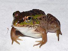 Daruma pond frog httpsuploadwikimediaorgwikipediacommonsthu