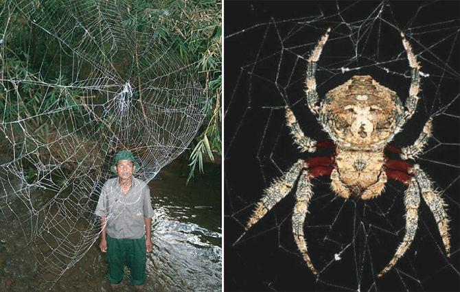 Darwin's bark spider Gigantic Spider Webs Made of Silk Tougher Than Kevlar WIRED