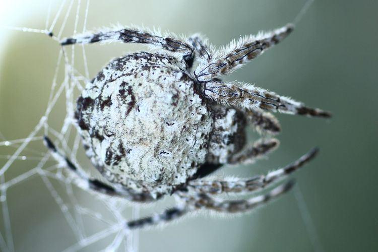 Darwin's bark spider Real Monstrosities Darwin39s Bark Spider