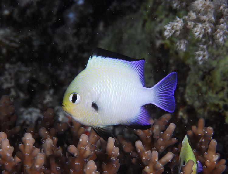 Dascyllus marginatus Dascyllus marginatus Egypt Marsa Alam 022008 SeaampSea DX Flickr