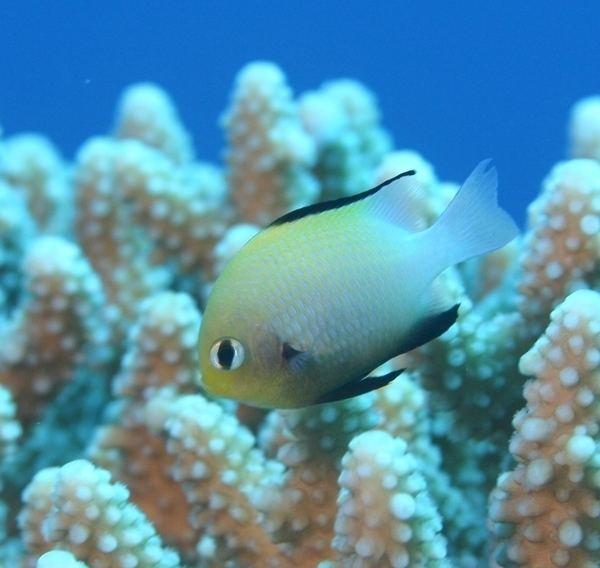 Dascyllus marginatus Red Sea DascyllusDascyllus marginatus