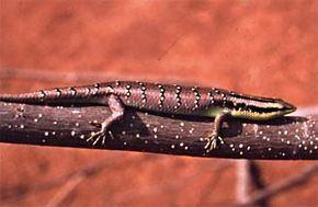 Dasia (genus) httpsuploadwikimediaorgwikipediacommonsthu