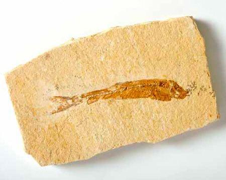 Dastilbe Dastilbe Mr Woods Fossils UK