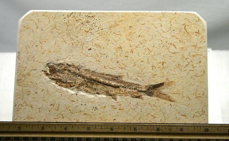 Dastilbe Brazil Santana Formation Fossil Fish Dastilbe