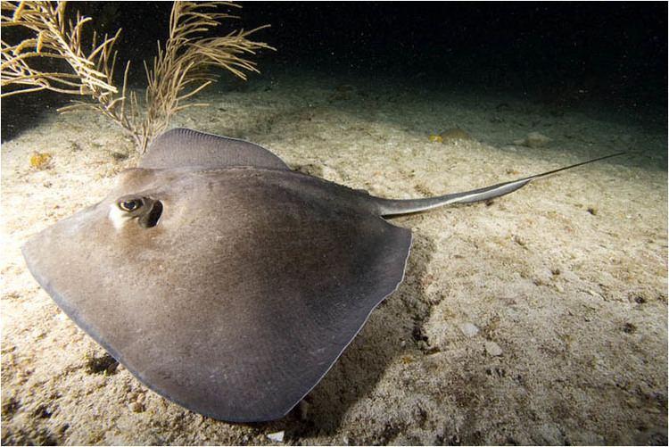 Dasyatis Dasyatis americana Southern stingray at night Bahamas lateral copyjpg