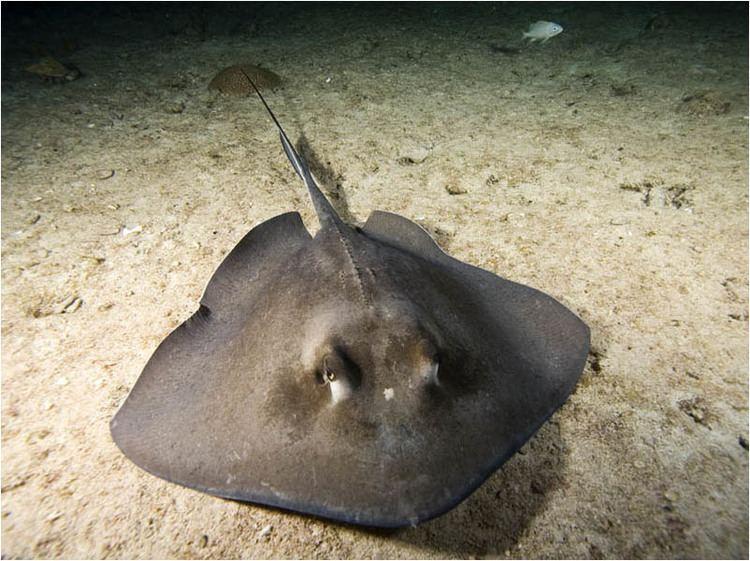 Dasyatis Dasyatis americana Southern stingray at night Bahamas head on copyjpg