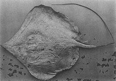 Dasyatis acutirostra httpsuploadwikimediaorgwikipediacommonsthu