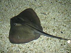 Dasyatis httpsuploadwikimediaorgwikipediacommonsthu