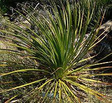 Dasylirion leiophyllum httpsuploadwikimediaorgwikipediacommonsthu