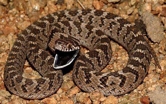 Dasypeltis scabra Dasypeltis scabra Common eggeater Rhombic eggeater