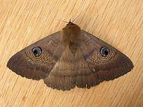 Dasypodia selenophora httpsuploadwikimediaorgwikipediacommonsthu