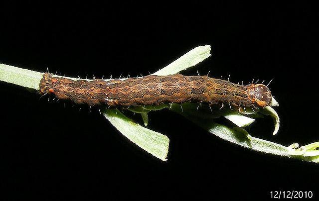 Dasypodia selenophora ipernity Dasypodia selenophora Caterpillar by WimmVic