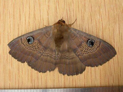 Dasypodia selenophora Southern Moon Moth Dasypodia selenophora NatureWatch NZ