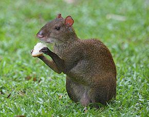 Dasyproctidae httpsuploadwikimediaorgwikipediacommonsthu