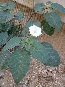 Datura innoxia httpsuploadwikimediaorgwikipediacommonsthu