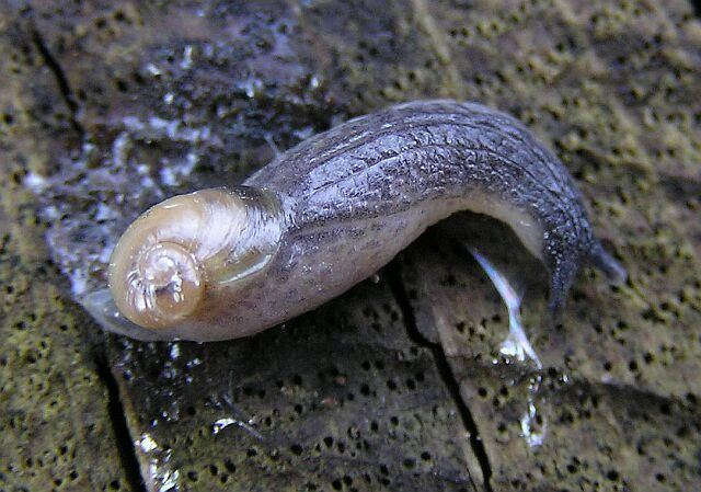 Daudebardia rufa Image Daudebardia rufa BioLibcz