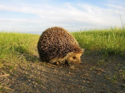 Daurian hedgehog Russian culture Daurian hedgehog Russian culture