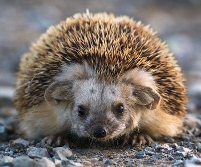 Daurian hedgehog Hedgehog Bottom Rescue Species