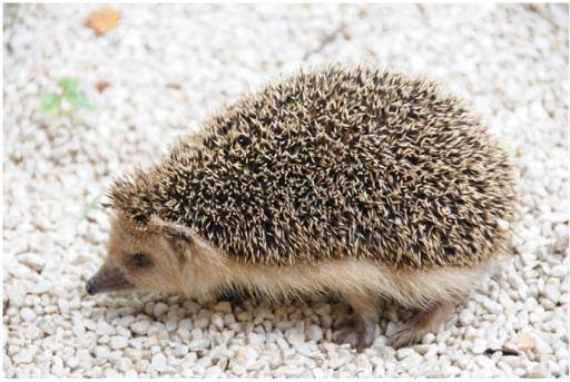 Daurian hedgehog A Living hedgehogPhotograph of the Daurian Hedgehog M Openi
