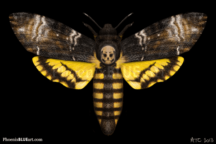 Death's-head hawkmoth Deaths Head Hawk Moth info