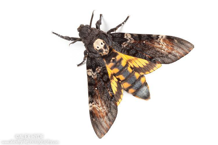 Death's-head hawkmoth Death39s head hawkmoth Acherontia atropos Alex Hyde