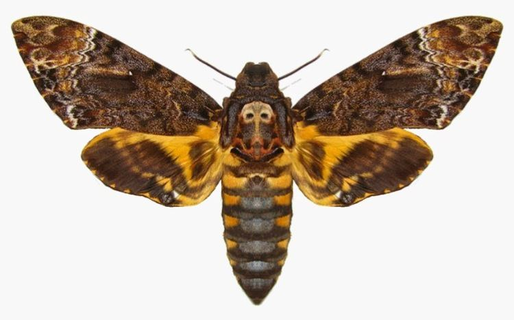 Death's-head hawkmoth Vietnam Insect Acherontia Death39s head hawk moth