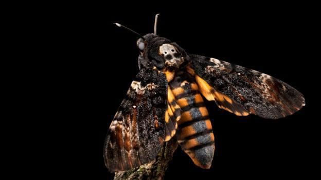 Death's-head hawkmoth BBC Earth The sinister moth from Silence of the Lambs can squeak