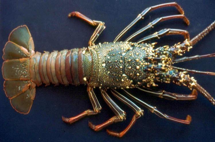 Decapoda Database of Crustacea Decapoda Stomatopoda