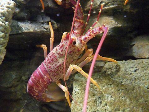 Decapoda Palaeos Arthropods Crustacea Malacostraca Decapoda