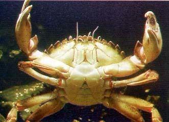 Decapoda Decapoda Crustacea British Marine Life Study Society Link Page