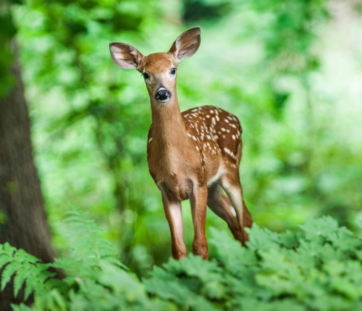 Deer Deer How to Identity and Keep Deer Out of Your Garden The Old
